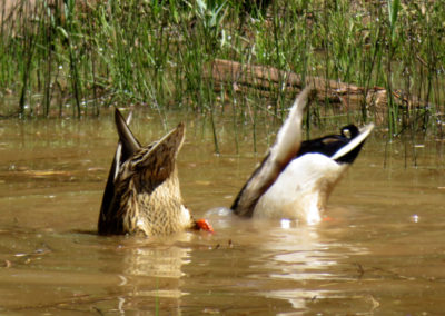 Ducks diving, tails in air