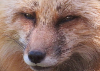 Closeup red fox