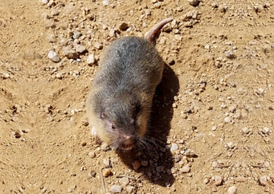 Arizona field mouse