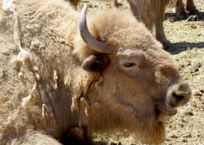 White Buffalo, American Bison, close up