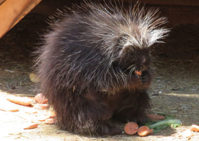 Porcupine eating carrots