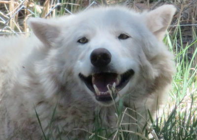 Smiling White Wolf