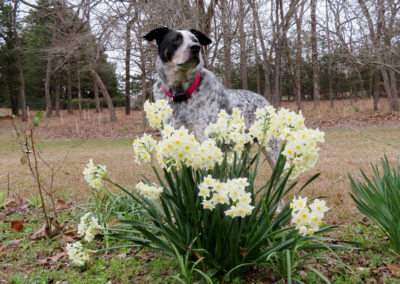 Blue Heeler in flowers