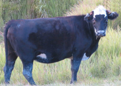 Angus Bull in Florida