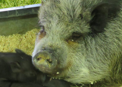 Sow pig snout and babies