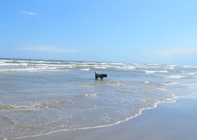 wading blue heeler staring into Gulf of Mexico waters in Corpus Christi