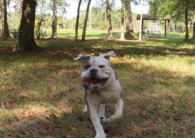 bulldog running through grass wagging tongue