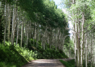 birch-trees-line-dirt-road