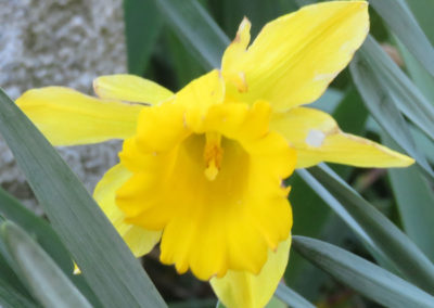 yellow daffodil in tall green leaves