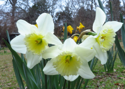 daffodils-yellow-white-cream