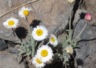 daisy-bellis-perennials-white-yellow-rocks