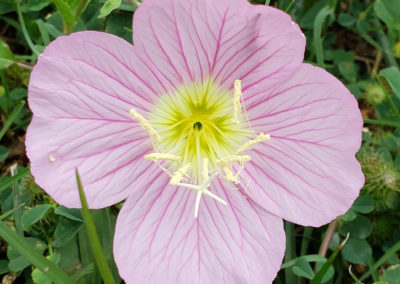 primrose-wildflower-light-purple