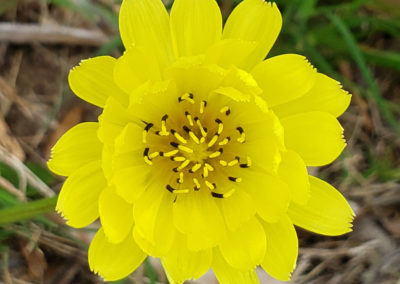 texas=wildflower-yellow