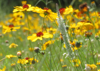 yellow-red-texas-wildflowers