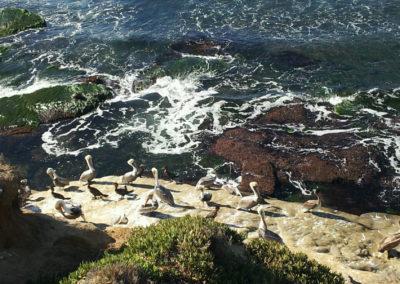 pelicans on the shore of la jolla